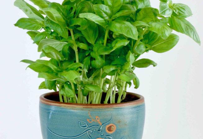 Ein oben eckiger und unten runder Übertopf befüllt mit Basilikumpflanze